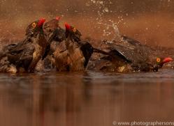 red-billed-oxpecker-copyright-photographers-on-safari-com-7897-1