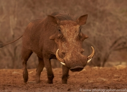 warthog-copyright-photographers-on-safari-com-7905-1
