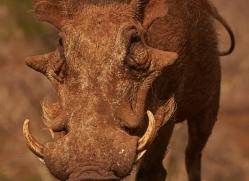 warthog-copyright-photographers-on-safari-com-7906-1