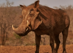 warthog-copyright-photographers-on-safari-com-7907-1