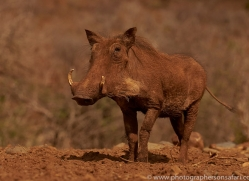 warthog-copyright-photographers-on-safari-com-7909-1
