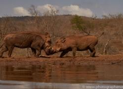 warthog-copyright-photographers-on-safari-com-7913-1