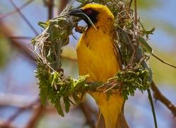 weaver-bird-copyright-photographers-on-safari-com-7917-1