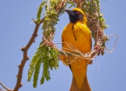 weaver-bird-copyright-photographers-on-safari-com-7919-1