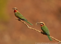 white-fronted-bee-eater-copyright-photographers-on-safari-com-7921-1