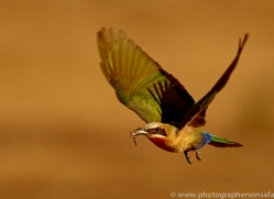 white-fronted-bee-eater-copyright-photographers-on-safari-com-7922-1