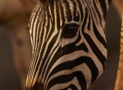 zebra-copyright-photographers-on-safari-com-7930-1