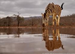 zebra-copyright-photographers-on-safari-com-7931-1