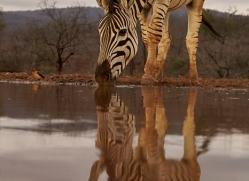 zebra-copyright-photographers-on-safari-com-7933-1