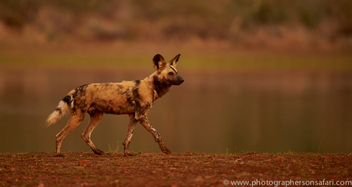 Wild-Dogs-copyright-photographers-on-safari-com-6530