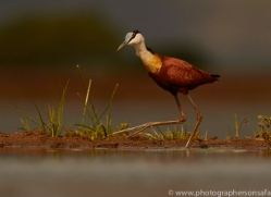 African-Jacana-copyright-photographers-on-safari-com-6214