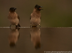 Black-Capped-Bulbul-copyright-photographers-on-safari-com-6257