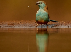 Blue-Waxbill-copyright-photographers-on-safari-com-6230