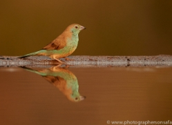 Blue-Waxbill-copyright-photographers-on-safari-com-6232