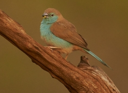 Blue-Waxbill-copyright-photographers-on-safari-com-6234