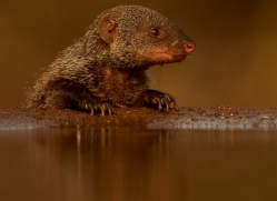 Banded-Mongoose-copyright-photographers-on-safari-com-6222