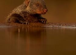 Banded-Mongoose-copyright-photographers-on-safari-com-6223