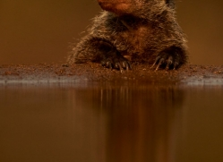 Banded-Mongoose-copyright-photographers-on-safari-com-6224