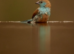 Blue-Waxbill-copyright-photographers-on-safari-com-6229