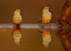 Blue-Waxbill-copyright-photographers-on-safari-com-6233