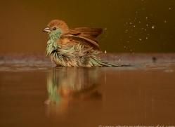 Blue-Waxbill-copyright-photographers-on-safari-com-6237