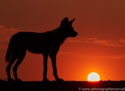 Wild-Dogs-copyright-photographers-on-safari-com-6511