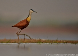African-Jacana-copyright-photographers-on-safari-com-6211