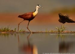 African-Jacana-copyright-photographers-on-safari-com-6213