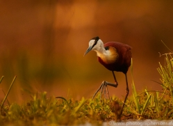 African-Jacana-copyright-photographers-on-safari-com-6215