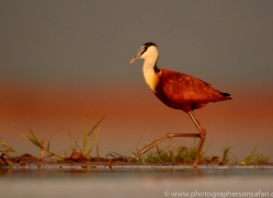 African-Jacana-copyright-photographers-on-safari-com-6216