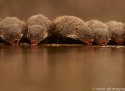 Banded-Mongoose-copyright-photographers-on-safari-com-6218