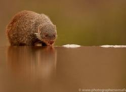 Banded-Mongoose-copyright-photographers-on-safari-com-6219