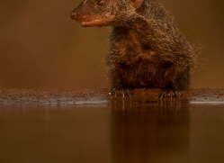 Banded-Mongoose-copyright-photographers-on-safari-com-6221