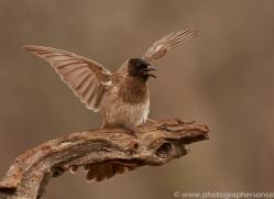 Black-Capped-Bulbul-copyright-photographers-on-safari-com-6256