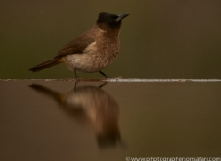 Black-Capped-Bulbul-copyright-photographers-on-safari-com-6258