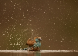Blue-Waxbill-copyright-photographers-on-safari-com-6228