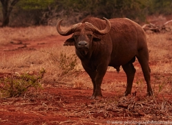 Buffalo-copyright-photographers-on-safari-com-6238