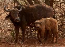 Buffalo-copyright-photographers-on-safari-com-6239