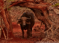 Buffalo-copyright-photographers-on-safari-com-6244