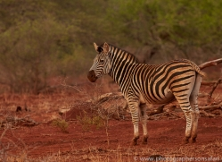 Burchell's-Zebra-copyright-photographers-on-safari-com-6247