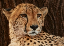 Cheetah-copyright-photographers-on-safari-com-6251