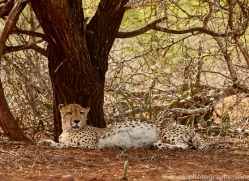Cheetah-copyright-photographers-on-safari-com-6252