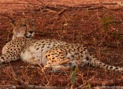 Cheetah-copyright-photographers-on-safari-com-6253