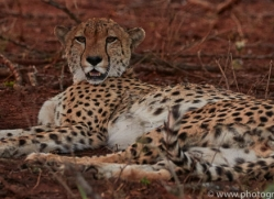 Cheetah-copyright-photographers-on-safari-com-6254