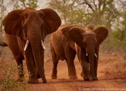 Elephant-copyright-photographers-on-safari-com-6264