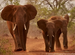 Elephant-copyright-photographers-on-safari-com-6265