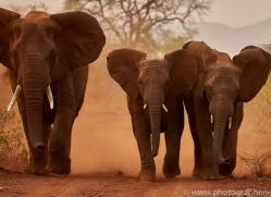 Elephant-copyright-photographers-on-safari-com-6270