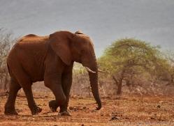 Elephant-copyright-photographers-on-safari-com-6271