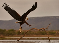 Fish-Eagle-copyright-photographers-on-safari-com-6274