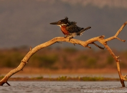 Giant-Kingfisher-copyright-photographers-on-safari-com-6284